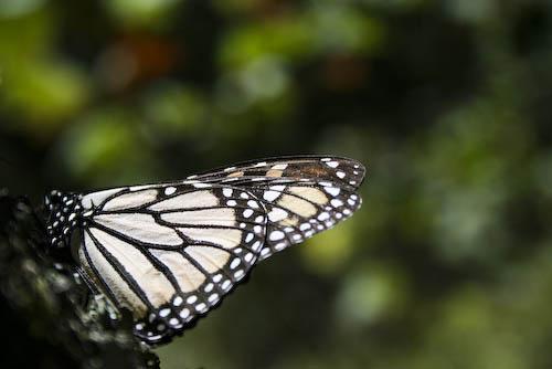 Papillon fermé